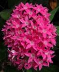 Bright pink flower cluster