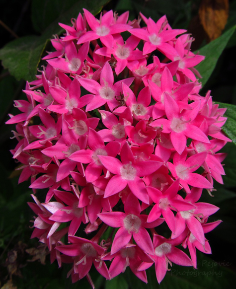 Bright pink flower cluster