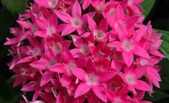 Close-up of the bright pink flowers