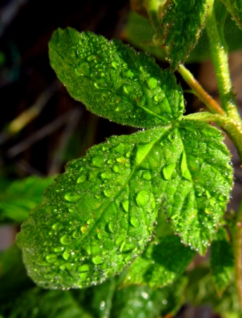 Let's Wild Weekly Photo Challenge: Green raspberry leaves