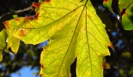 Sycamore leaves are beautiful in the fall