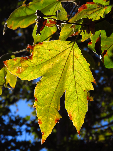 Green and brown Sycamore tree leaf in the fall
