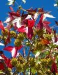 Red leaves of the American sweetgum, or Liquidambar Styraciflua
