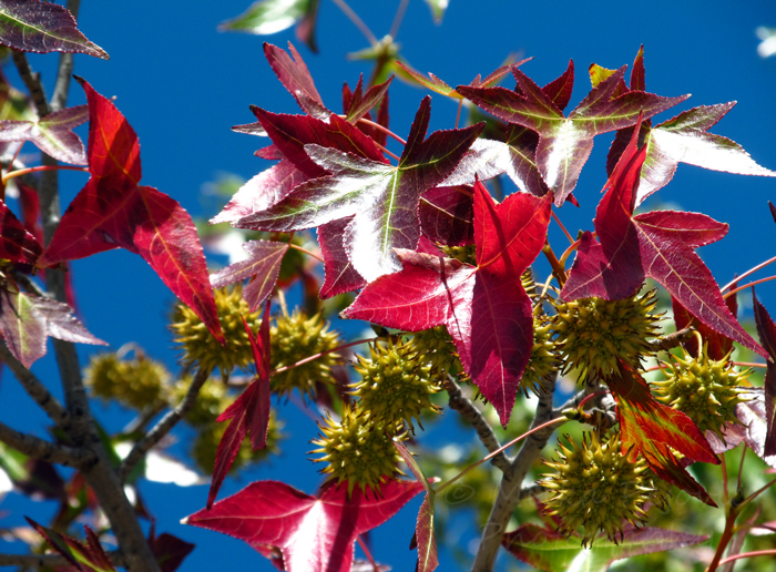 Fall foliage of the American sweetgum - red leaves and spiky seed pods