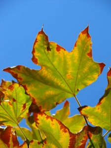 Festival of Leaves - Green and brown Sycamore leaves in the fall
