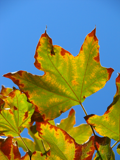 Green and brown Sycamore leaves in the fall