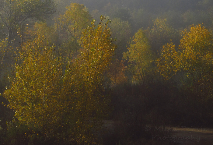The yellow leaves of the poplars by the San Diego River