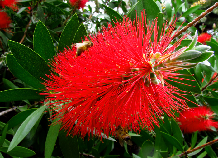 Cee's Fun Foto Challenge: Lines on a bottle brush tree flower