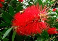 Bees love bottle brush treeflowers