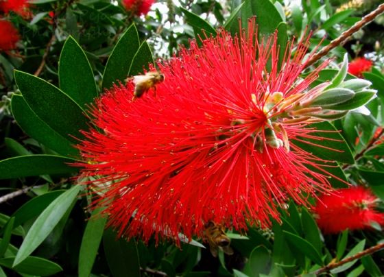 Bees love bottle brush tree flowers