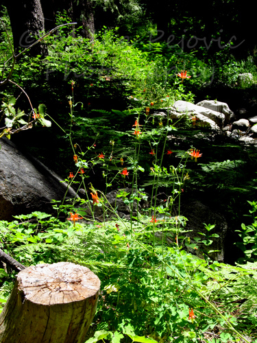 Wordpress weekly photo challenge: Green lush by Strawberry Creek in Idyllwild, California