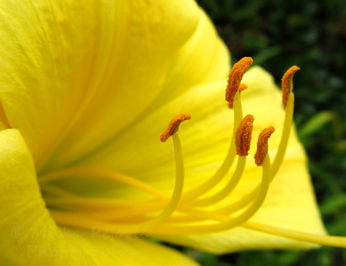 Cee's Fun Foto Challenge:  Lines of pistils on a yellow lilium