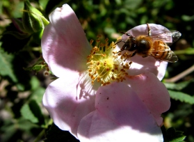 Sunday Post: Ongoing - bee on a wild rose in Idyllwild
