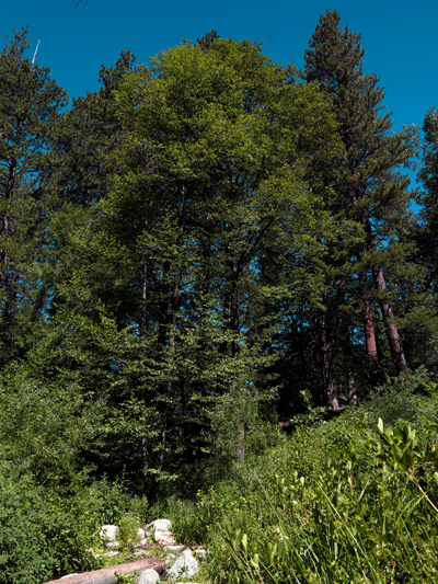 Sunday Post: Natural Resources - trees of Idyllwild, California