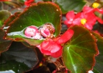 WordPress weekly photo challenge: Reflections in rain water on a begonia leaf