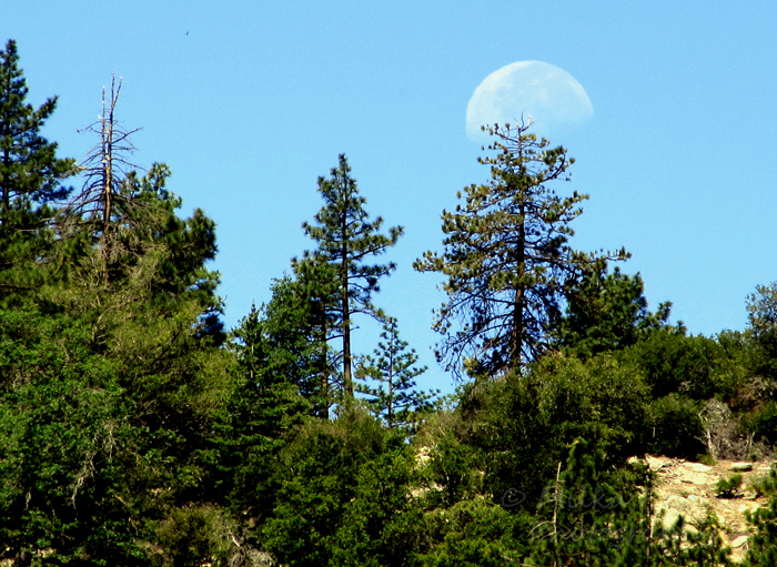WordPress weekly photo challenge: In the background - Moon rising over pine trees