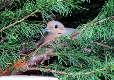 Mourning dove sitting on its nest and eggs