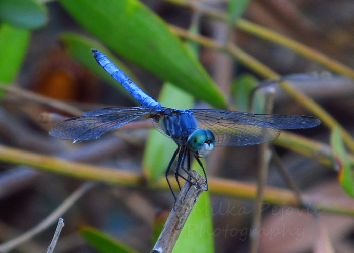 Wordpress weekly photo challenge: Thankful - photographing a blue dragonfly