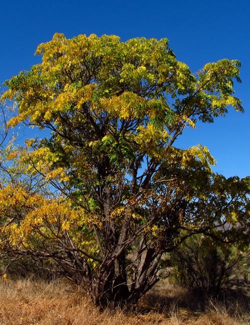 WordPress weekly photo challenge: Changing Seasons - yellow fall foliage in San Diego