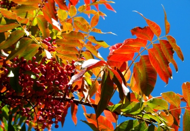 A Word A Week Challenge – Orange leaves of a sumac tree in the fall
