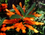 A Word A Week Challenge – Orange flower with fuzzy petals