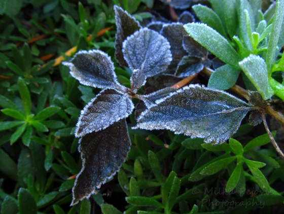 Frost on leaves in San Diego