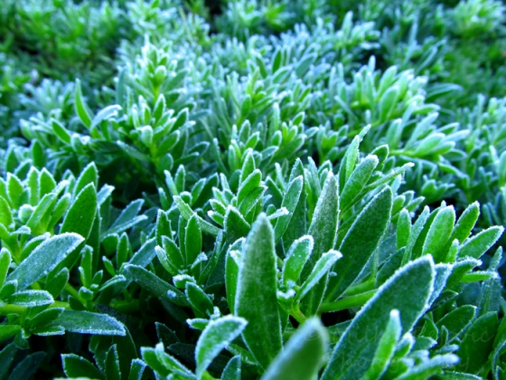 Cee's fun foto challenge: frost on ice plants in San Diego