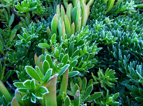 Frost around ice plants in San Diego