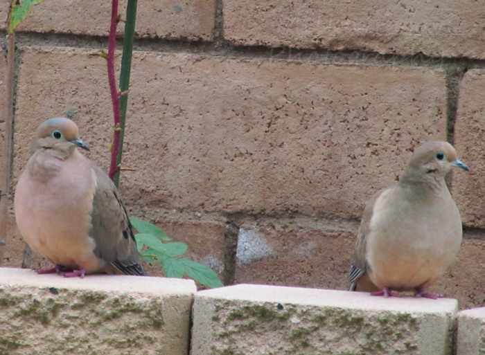 Sunday Post: Peaceful mourning doves