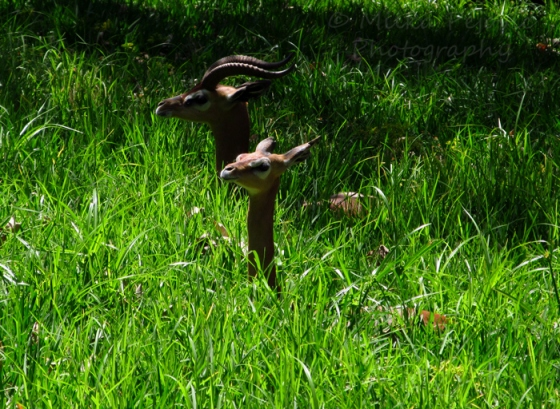 Sunday Post: Peaceful generuk antelopes at the San Diego Zoo Safari Park