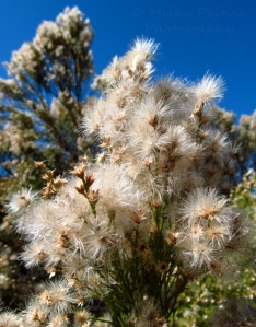 Let's Be Wild Weekly Photo Challenge – Texture - Baccharis Sarothroides blooms