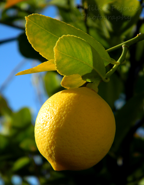 Yellow lemon on a lemon tree