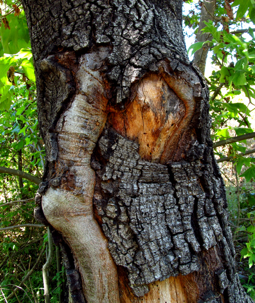 Let's Be Wild Weekly Photo Challenge – Unusual: the face in the tree trunk