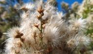 A closer look at the Baccharis Sarothroidesbush