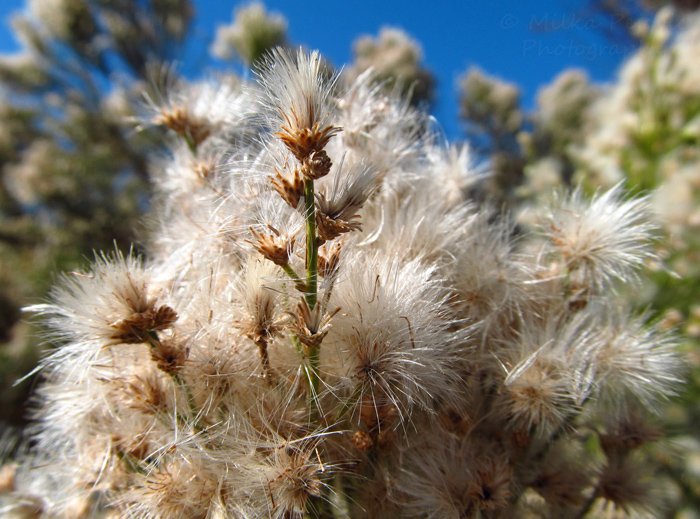 Close-up of Baccharis Sarothroides bush