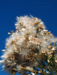 Baccharis Sarothroides bush in bloom