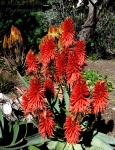 Let's Be Wild Weekly Photo Challenge – Flowers - Red Aloe
