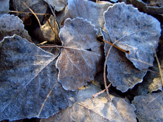 Frost on dried leaves