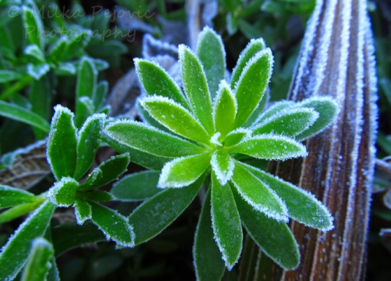 Cee's Fun Foto Challenge:  Lines of frost on ice plant