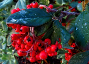 Close-up of the Cotoneaster Lacteus and its red berries