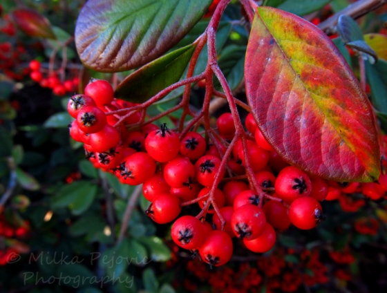 Red berries and red leaves of the Cotoneaster Lacteus