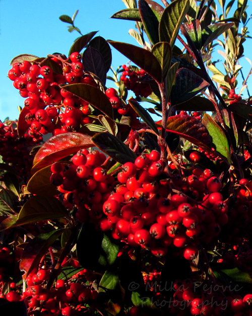 The red berries of the Cotoneaster Lacteus