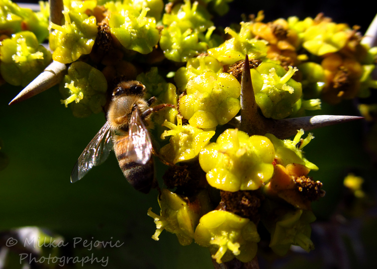 Bee on yellow cactus flowers