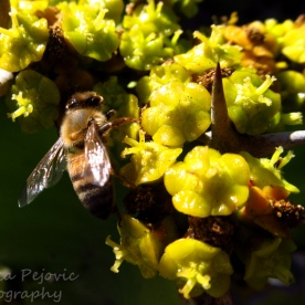 Bee on yellow cactus blooms