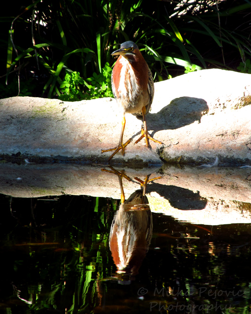 Let's be wild photo challenge - reflections of a green heron