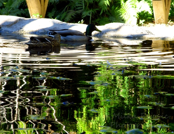 Sunday Post: Simplicity - Ducks at the Bamboo pond at the San Diego Botanic Garden