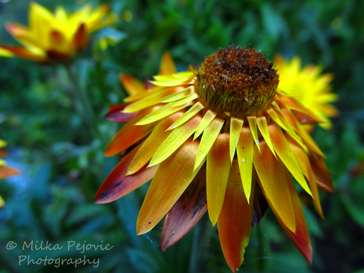 WordPress weekly photo challenge: Focus - Yellow daisy
