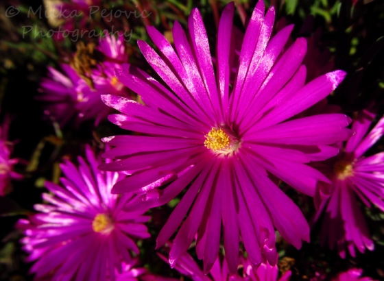 Let's Be Wild Weekly Photo Challenge – Flowers - Pink asters