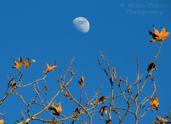 Sunday Post: Focused Attention - moon in bright blue sky