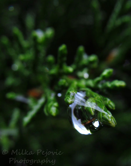 Raindrop on a thuja branch